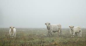 Vaches en brouillard Images stock