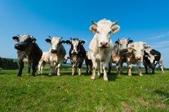 Vaches en fonction sur des terres cultivables dans l'Ardennes Photographie stock libre de droits