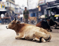Vaches en Inde Image libre de droits