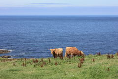 Vaches en mer photographie stock