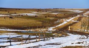 Vaches en montagnes Photo stock