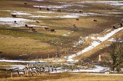 Vaches en montagnes Photos stock