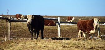 Vaches en montagnes Image libre de droits