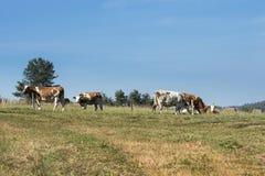 Vaches en montagnes de Sudety, Photos libres de droits
