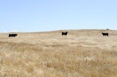 Vaches en parc national de chêne Photos libres de droits