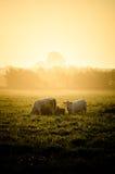 Vaches en soleil image libre de droits