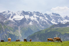 Vaches en Suisse Photographie stock