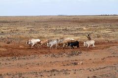 Vaches et éleveurs de bétail dans le nord du Kenya Photos stock