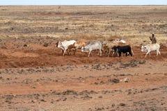 Vaches et éleveurs de bétail dans le nord du Kenya Photos libres de droits