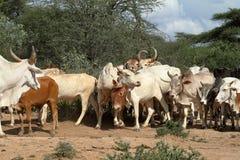 Vaches et bétail dans la vallée d'Omo de l'Ethiopie Photo libre de droits