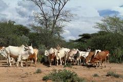 Vaches et bétail dans la vallée d'Omo de l'Ethiopie Images libres de droits