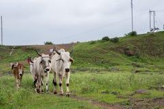 Vaches et bétail dans les prés photos stock
