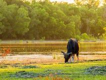Vaches et champ d'herbe frais, bord de mer Photographie stock libre de droits