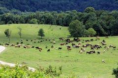 Vaches et chevaux à panorama frôlant pendant le jour d'été de pré Images libres de droits