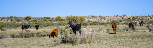 Vaches et chevaux Photo libre de droits