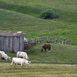 Vaches et chevaux frôlant dans le pré Photographie stock libre de droits