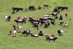 Vaches et chevaux frôlant l'été de détente de champ vert Image libre de droits