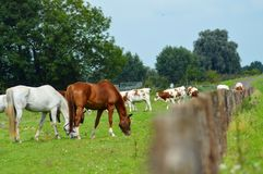 Vaches et chevaux près d'une barrière Photographie stock libre de droits