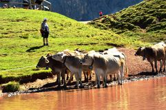 Vaches et lac à dolomites Photos stock