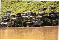 Vaches et lac à dolomites Images libres de droits