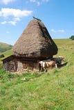 Vaches et maison Images stock