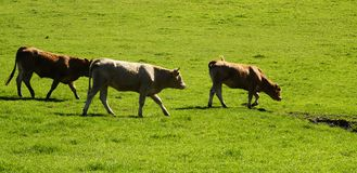 Vaches et marche de veau Photos libres de droits