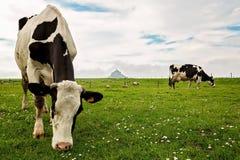 Vaches et Mont Saint Michele au fond Images libres de droits