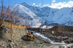 Vaches et montagne dans le village géorgien Images libres de droits