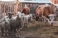 Vaches et moutons dans un stylo en hiver image libre de droits