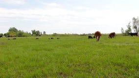 Vaches et moutons sur un pré banque de vidéos