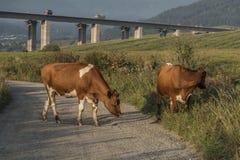 Vaches et pont en route près de ville de Ruzomberok Images stock