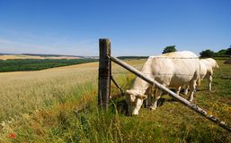 Vaches et pré dans le pays français Photographie stock libre de droits