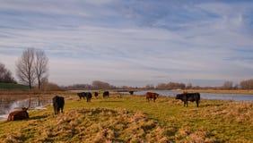 Vaches et taureaux à Galloway dans une réserve naturelle hollandaise Photos stock