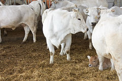 Vaches et veau Images libres de droits