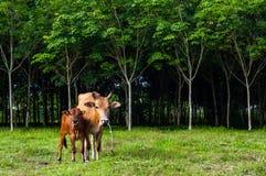 Vaches et veau Photo libre de droits