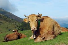 Vaches et veau Photo stock