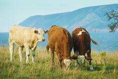 2 vaches et 1 veau Image libre de droits