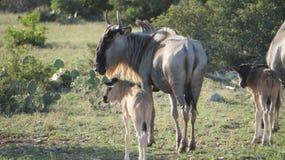 Vaches et veaux à gnou Photographie stock