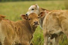 Vaches et veaux dans le pâturage Photos libres de droits