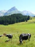 Vaches frôlant dans le pré images stock