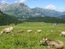Vaches frôlant dans le pré image stock