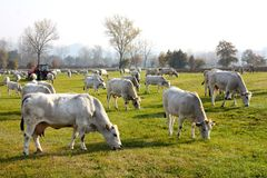 Vaches frôlant en Italie photographie stock