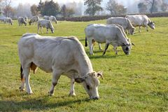 vaches frôlant le blanc Images stock