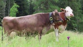 Vaches frôlant sur des terres cultivables dans le Tirol Vallée de Schoenachtal dans les alpes autrichiennes banque de vidéos