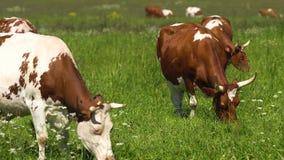 Vaches frôlant sur le pâturage banque de vidéos