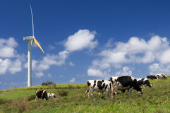 Vaches frôlant à côté d'une turbine de vent Image libre de droits