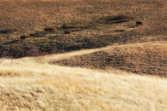 Vaches frôlant dans la prairie occidentale Image libre de droits