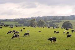 Vaches frôlant dans le domaine Photo stock