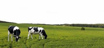 Vaches frôlant dans un pré d'été Images libres de droits