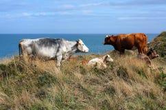 Vaches frôlant par la mer image stock